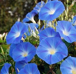 Lulan 200 Heavenly Blue Morning Blooming Vine Seeds - Wonder