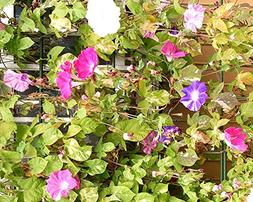 Lulan Morning Glory Tall Mix Wildflower Seeds Sizes to 5LB C