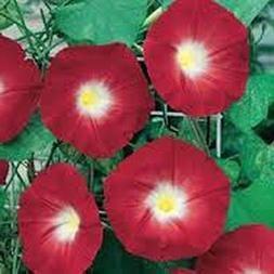 Lulan Scarlet O' Hara Morning Glory 200+ Seeds Organic, Beau